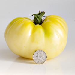 Great White fruit