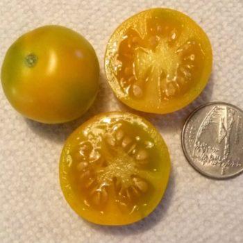 yellowtommytoe1