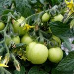 Aztek green fruits BHS