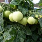 aztek green fruit 2 BHS