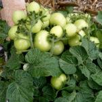 aztek plant loaded 2 BHS